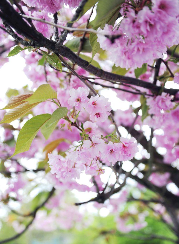 körsbärsträd